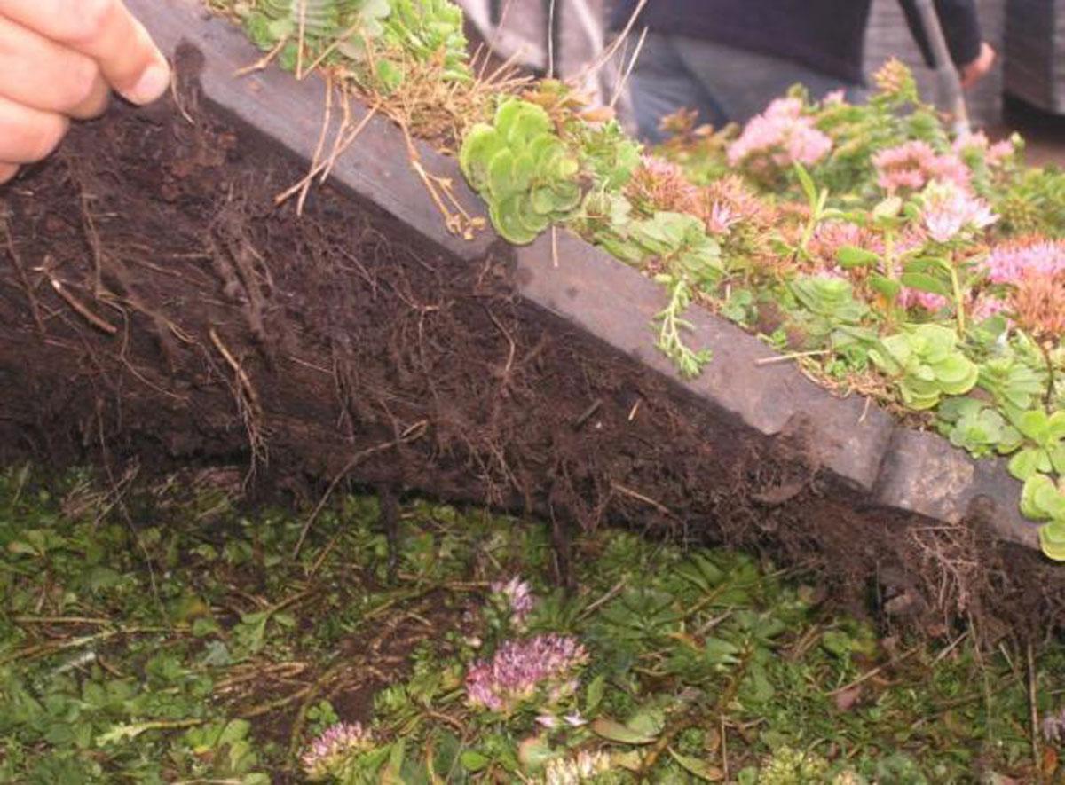 kratki z dobrze zakrzewionymi roślinami Sedum